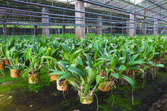 Cattleya in farm for sale and export Royalty Free Stock Photo