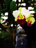 Cattleya Royalty Free Stock Photo