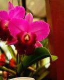 Cattleya Royalty Free Stock Photos