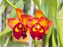 Cattleya Hybrid beautiful orchid flowers on farm Stock Photo