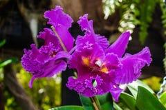 Cattleya hybrydowa purpurowa orchidea fotografia stock