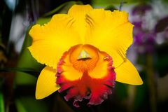 Cattleya Jomthong Delight Orchid. Cattleya Jomthong Dellight is an orangey yellow orchid. The flower has yellow and purple-red lip. The starfish-shaped bloom is royalty free stock images