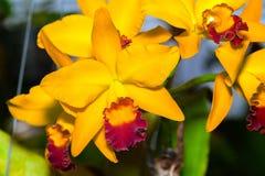 Cattleya Jomthong zachwyta orchidea Zdjęcia Stock