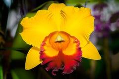Cattleya Jomthong zachwyta orchidea Obrazy Royalty Free