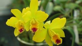 Cattleya labiata杂种黄色兰花类,开花开花的植物花的许多人为杂种的发展 股票视频