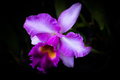 Cattleya. Cattleya is a large orchid that is more distinctive than other orchids. For this reason, orchids in the genus Cattleya are considered representative royalty free stock images