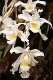 Cattleya Orchid. Beautiful Cattleya orchid growing in natural habitat stock image