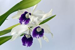 Cattleya orchid. In studio setting with white background royalty free stock image