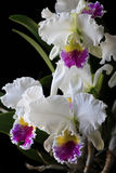 Cattleya orchid. On black background in studio stock image