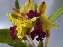 Cattleya orchid Royalty Free Stock Photo