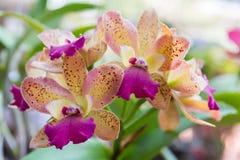 Cattleya orchid Arkivbild