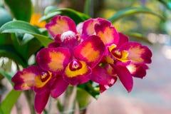 Cattleya orchid Fotografering för Bildbyråer