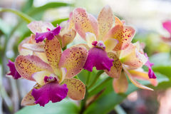 Cattleya orchid. Beautiful Cattleya  orchid in Thailand,Close up of beautiful orchid Stock Photography