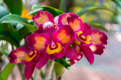 Cattleya orchid. Beautiful Cattleya  orchid in Thailand,Close up of beautiful orchid Stock Image