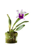 Cattleya orchid in black pot. Isolated on white background stock images
