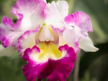 Cattleya Orchid Blooming on Colorless. The Cattleya Orchid Blooming on Colorless Background stock photo