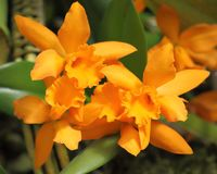 Cattleya orchid flower. Royalty Free Stock Image