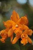 Cattleya orchid flower blooms Stock Photos