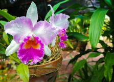 Cattleya orchid flower. Blooming beautiful in the garden royalty free stock photos