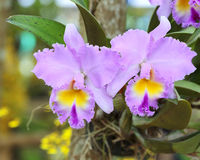 Cattleya orchid flower. Cattleya color purple orchid flower stock image