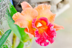 Cattleya orchid flower. In the garden Stock Photos