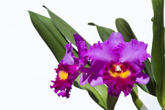 Cattleya orchid flower Stock Photo