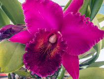 Cattleya orchid flower. Cattleya orchids from Costa Rica and the Lesser Antilles south to Argentina stock photos
