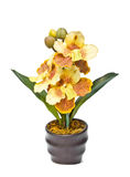 Cattleya orchid Flowers in flower pot Royalty Free Stock Photos