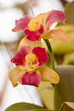 Cattleya orchid Royalty Free Stock Photography