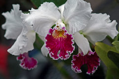 Cattleya Orchid Royalty Free Stock Image