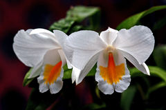 Cattleya Orchid Stock Photography