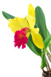 Cattleya orchid isolated on a white background. Flower cattleya orchid isolated on a white background Royalty Free Stock Photography
