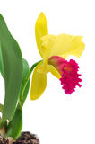 Cattleya orchid isolated on a white background. Flower cattleya orchid isolated on a white background Stock Photo