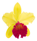 Cattleya orchid isolated on a white background. Flower cattleya orchid isolated on a white background Stock Image