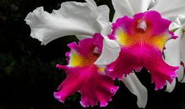 Cattleya Orchid. Macro close up of a cattleya orchid Stock Photo