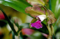 Cattleya Orchid. S The Corsage Orchid are among the most commonly grown Orchids, and their culture is often used as the basis for comparison with other types of stock image