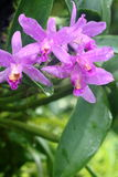 Cattleya Orchid 1. Pink purple Cattleya orchid in full bloom after rain Stock Images