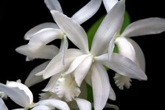 Cattleya, orchidea Fotografia Stock