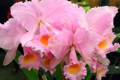 Cattleya orchidea fotografia stock