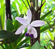Cattleya Orchidee Lizenzfreie Stockbilder