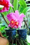Cattleya Orchidee Stockfoto