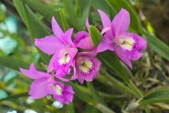 Cattleya orchidee Obrazy Royalty Free