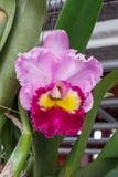 Cattleya Orchidee Lizenzfreie Stockfotos