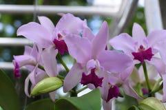 Cattleya-Orchideen Stockbild