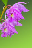 Cattleya Orchids Royalty Free Stock Images