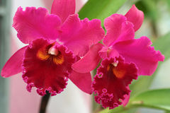 Cattleya Orchids. Two Cattleya orchids with pink petals and red lips royalty free stock photo