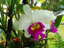 Cattleya. Orchids bloom in garden Royalty Free Stock Image