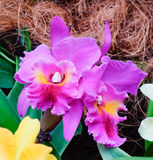 Cattleya orchids at the Botanic Garden in Singapore Royalty Free Stock Image
