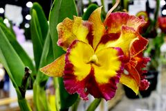 Cattleya Orchids Flower with green orchids leaf at Garden Fair and Vegetation Contest. 2017 in Bangkok Thailand, Magenta and Yellow Orchid Flower Stock Images
