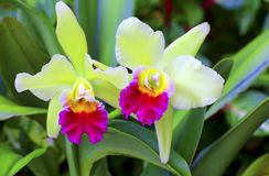 Cattleya orchids. Greenish yellow and pink colored cattleya orchids in the garden royalty free stock photography